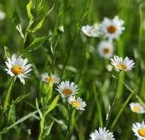 Ромашка трава чем полезна