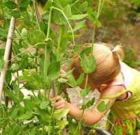 Чем полезен свежий зеленый горох