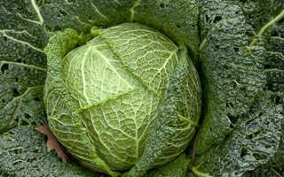Чем полезна савойская капуста