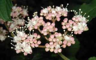 Кленовый мед полезные свойства и противопоказания