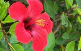 Цветы гибискуса полезные свойства
