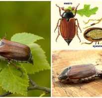 Чем полезен майский жук