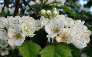 Цветки боярышника полезные свойства