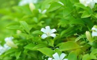 Мурайя комнатное растение полезные свойства