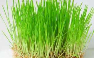 Проростки пшеницы чем полезны