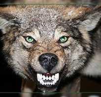Чем полезно волчье мясо