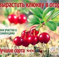 Клюква садовая крупноплодная полезные свойства