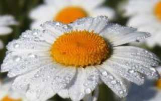 Ромашка полевая полезные свойства и противопоказания