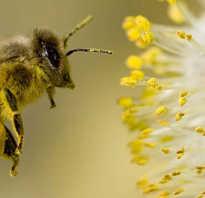 Пыльца цветочная обножка полезные свойства