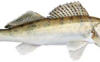 Рыба судак чем полезна