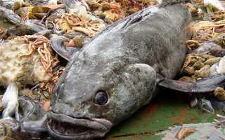 Чем полезна масляная рыба