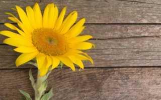 Лепестки подсолнечника полезные свойства