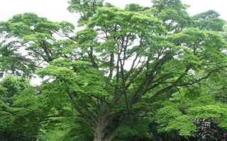 Полезные свойства амурского бархата