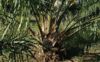 Пальмовый жир вред