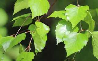 Чем полезны березовые листья