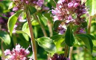 Чабрец фото растения полезные свойства