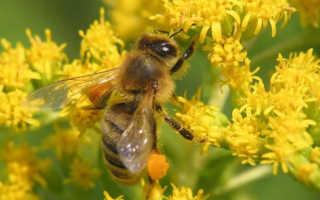 Чем полезна пчелиная пыльца для женщин