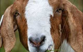 Что полезнее коровье молоко или козье