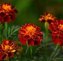 Чем полезны цветки бархатцев