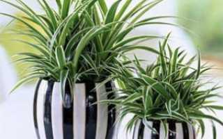 Хлорофитум полезные свойства для дома