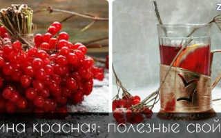 Калина красная полезные свойства и показания