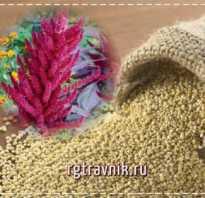 Растение амарант польза и вред