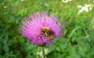 Серпуховый мед дальневосточный полезные свойства