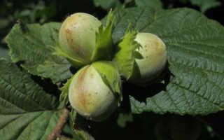 Лесные орехи польза и вред