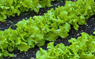 Чем полезен салат листовой для организма