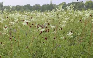 Трава таволга чем полезна