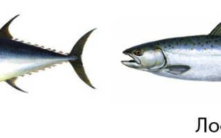 Что полезнее тунец или лосось