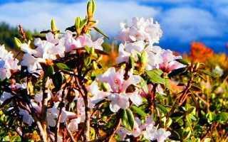 Рододендрон адамса полезные свойства