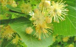 Липы цветки полезные свойства и противопоказания