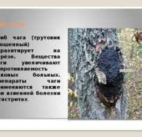 Полезные свойства гриба чага и противопоказания