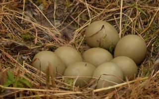 Фазана яйца польза и вред