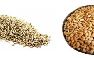 Что полезнее рожь или пшеница
