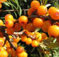 Чем полезна облепиха ягода