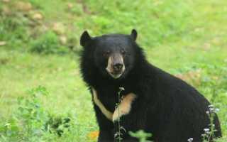 Чем полезна желчь медведя