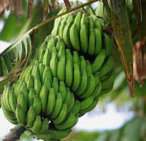Полезные свойства бананов для организма человека