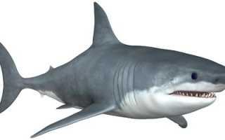 Чем полезно мясо акулы