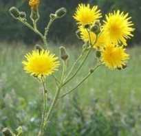 Осот огородный полезные свойства