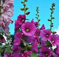 Цветы мальвы полезные свойства и противопоказания