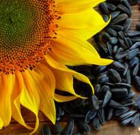 Чем полезны сырые семечки подсолнуха
