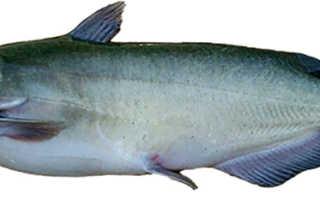 Рыба сом полезные свойства