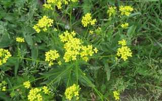 Сергибус растение полезные свойства