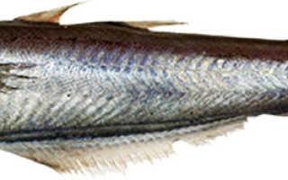 Полезные свойства рыба путассу