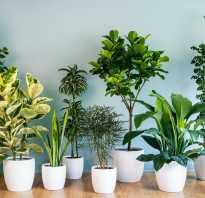 Цветы домашние полезные для дома