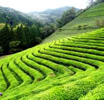 Чай кокейча полезные свойства