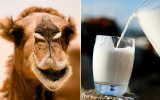 Молоко верблюда полезные свойства